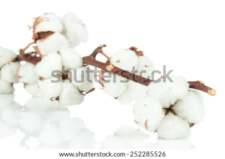 Cotton twig on white background
