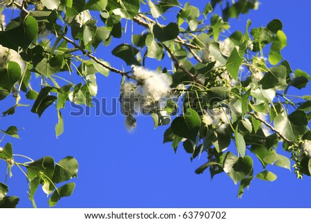Cottonwood Tree Blooms A blooming cottonwood tree in the spring. Horizontal. - stock photo