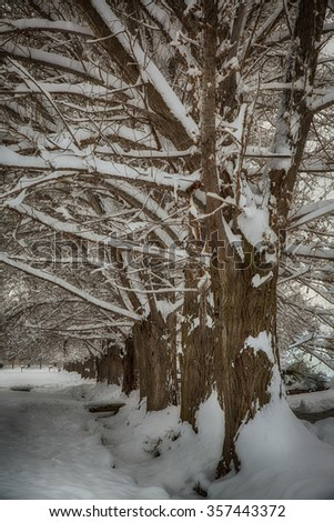 Cottonwood trees in a line with fresh snow in Utah USA.