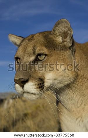 Cougar approaches through the long grass - stock photo