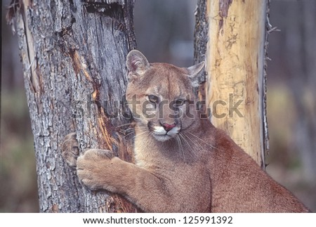 Cougar at scratching tree