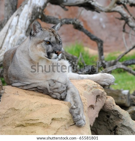 Cougar (Felis concolor); captive, Leipzig, Germany - stock photo
