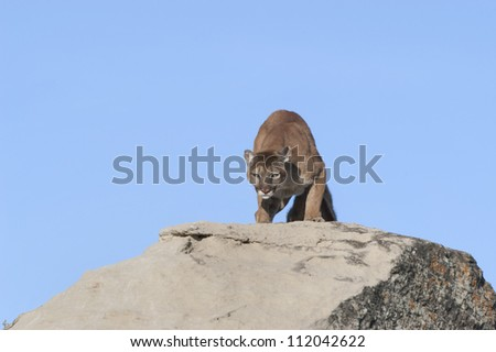Cougar glaring at photographer - stock photo