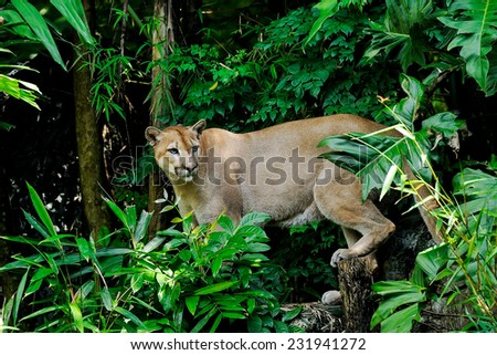 Cougar in the zoo. - stock photo
