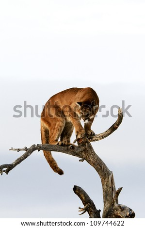 Cougar in tree - stock photo