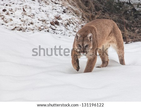 Cougar, mountain lion, puma, panther, walking through fresh snow. - stock photo