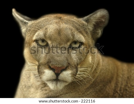 Cougar Portrait - stock photo