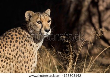 Cougar (Puma concolor), also known as the puma, mountain lion, panther, or catamount