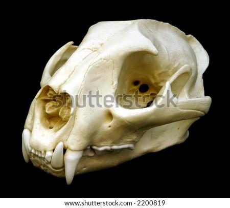 Cougar Skull - stock photo