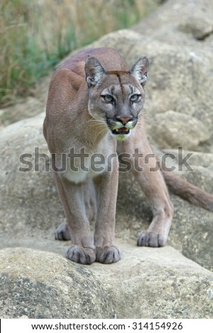 Cougar Stock Photos Images Amp Pictures Shutterstock