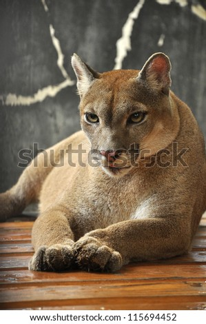 Cougars are slender and agile members of the cat family. - stock photo