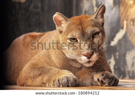Cougars use steep canyons, rock outcroppings and boulders, or vegetation, such as dense brush and forests, to remain hidden while hunting. - stock photo