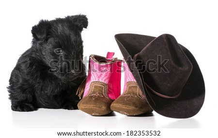 country dog - scottish terrier puppy sitting beside western boots and hat isolated on white background - stock photo