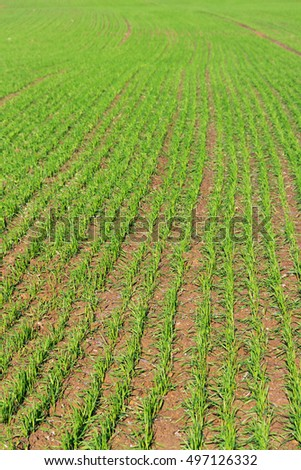 Country landscape, growing green wheat.