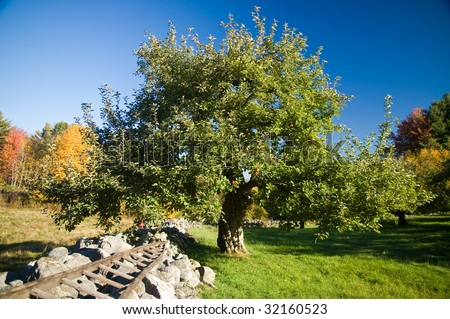 country scene - wide-angle view of an apple tree in an apple orchard next to a rustic stone wall and an old ladder