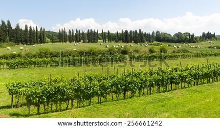 Countryside near Lucca (Tuscany, Italy): vineyard and bales at summer - stock photo