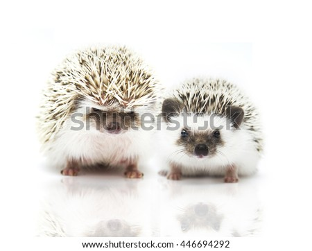 couple beautiful two hedgehog in white background