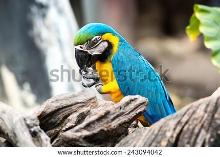 Couple blue-and-yellow macaw (Ara ararauna) nibble pebble. - stock photo