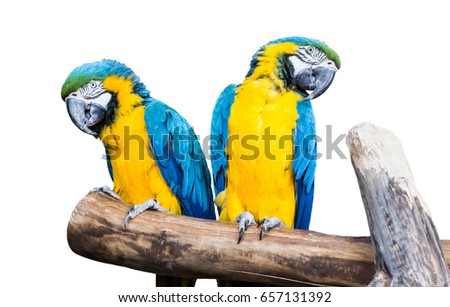Couple blue-yellow parrots sit on a branch isolated