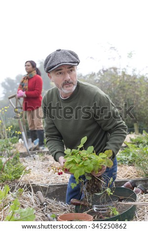 Couple busy working in their allotment. The man is in the foreground, planting strawberries. - stock photo