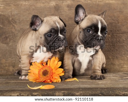 couple in love French bulldogs, puppy - stock photo