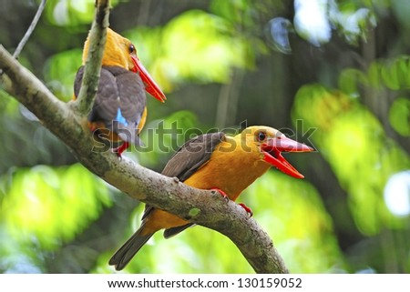 Couple lovers of Brown-winged Kingfisher (Pelargopsis amauroptera) posting on branch, found in the south of Thailand