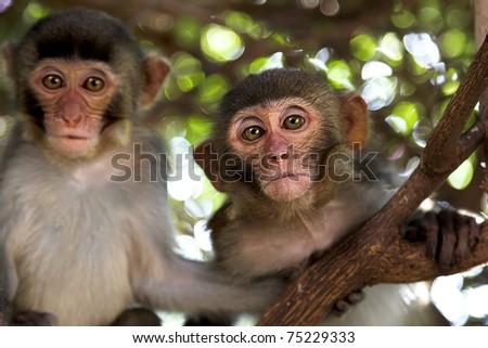 couple monkey sitting on big tree branch - stock photo
