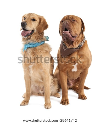 Couple of a Mastiff and a golden retriever in front of a white background - stock photo
