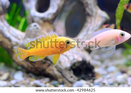 Couple of Aquarium Fish dwarf Cichlid-Aulonocara(Aulonocara sp ...