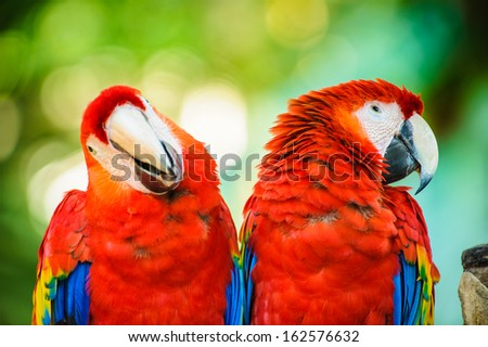 Couple of aras in Mexico - stock photo
