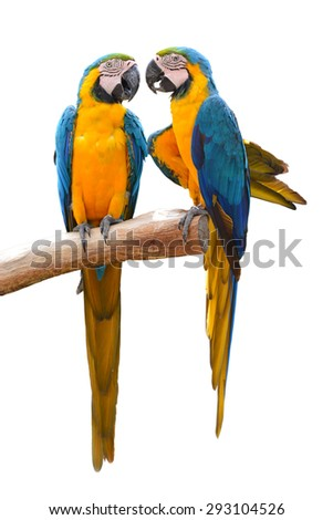 Couple of blue and gold macaw parrots isolated on withe background - stock photo