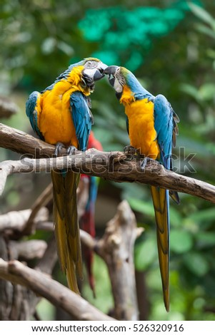 Couple of Blue-and-Yellow Macaw (Ara ararauna), also known as the Blue-and-Gold Macaw