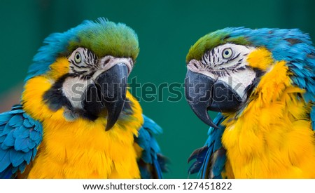 couple of blue ara parrots - stock photo