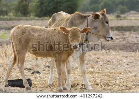 couple of calf on dry country field background - stock photo