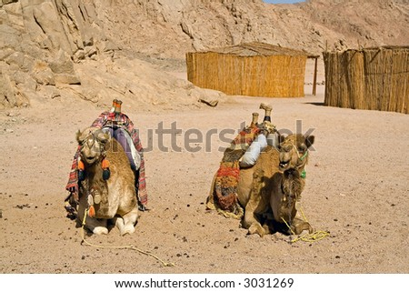 couple of camels lying on the earth behind cabins