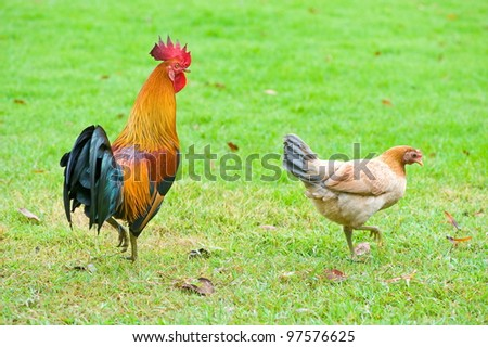 Couple of chicken on grass