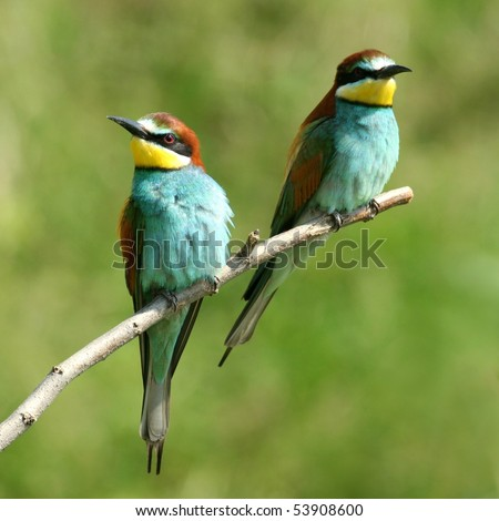Couple of colourful european bee-eaters perched on a twig, close-up - stock photo