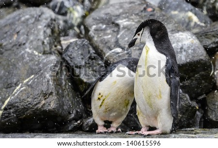 Couple of dirty penguins - stock photo