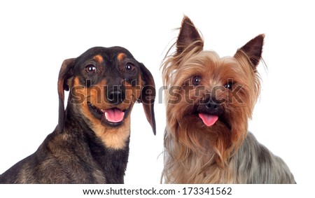 Couple of dog, a dachshund and yorkshire, isolated on a white background