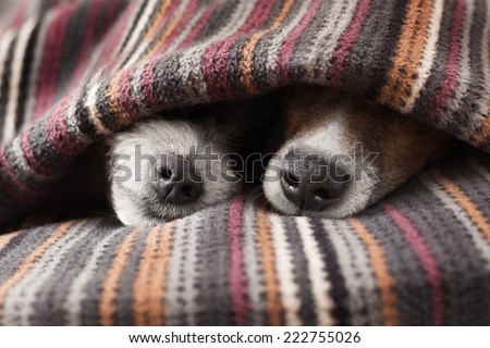 couple of dogs in love sleeping together under the blanket in bed - stock photo