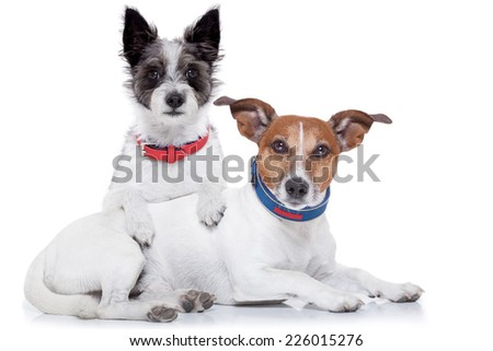 couple of dogs together hugging each other, isolated on white background - stock photo
