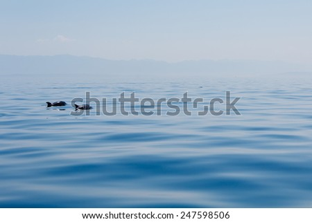 couple of dolphins in blue tranquil sea near the islands in Croatia