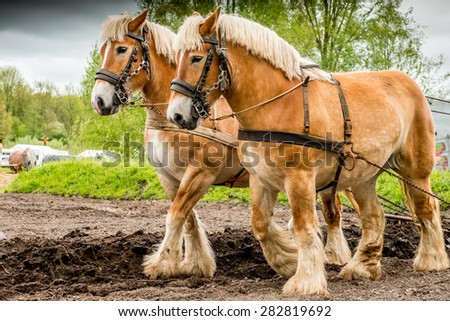 Couple of draft horses plowing the land - stock photo