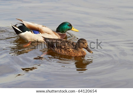 Couple of duck and drake are swimming in the pond
