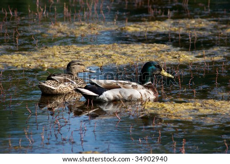 Couple of ducks in a pond - stock photo