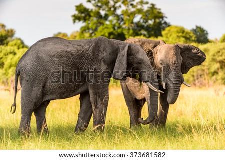 Couple of Elephants in the Moremi Game Reserve (Okavango River Delta), National Park, Botswana - stock photo