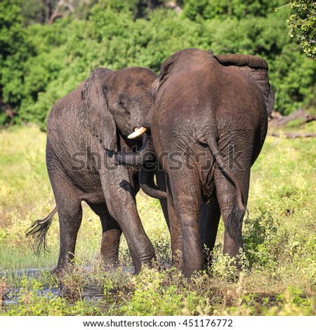 Couple of elephants playing at river, Africa