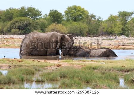 Couple of elephants playing from Etosha National Park, Namibia - stock photo