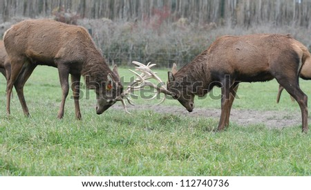 Couple of fighting red deers - stock photo