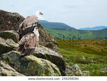 Couple of Griffon vulture (Gyps fulvus)  in wildness area - stock photo